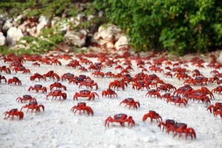Krabbenwanderung auf Christmas Island